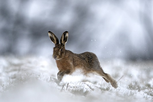 Brown Hare running in snow